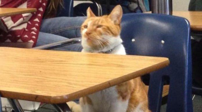 在學校上課的貓5