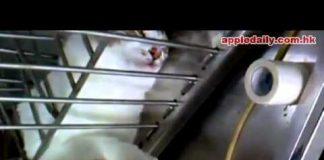 剪指甲的貓7