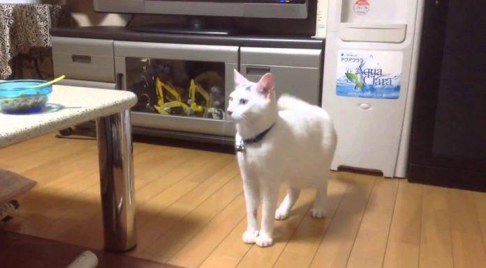 站立的白貓1