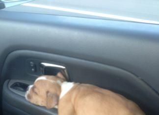 睡在車裡的狗2