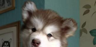 Alaska_Malamute_puppy